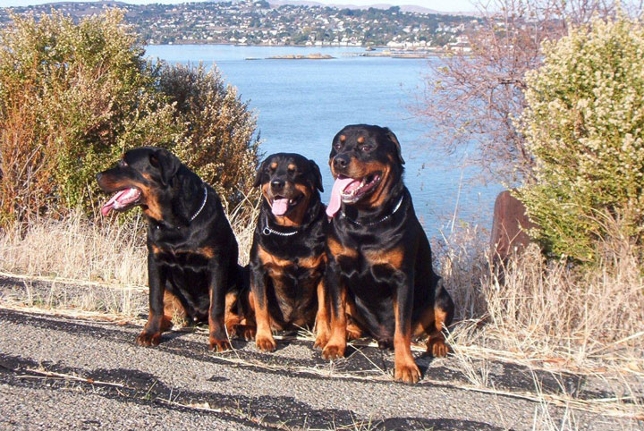 Izzy The Rottweiler Competes For Show Dog Championship Richmond